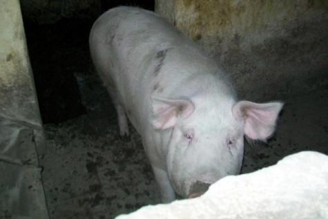 Tăierea porcului la bănăţeni