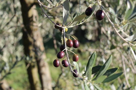 Preparare Zile de toamna frumoasa. In Toscana 3
