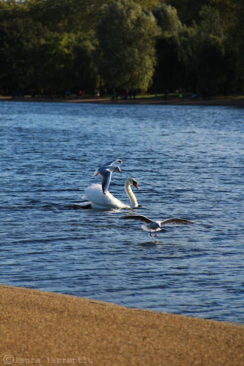 serpentine swan s