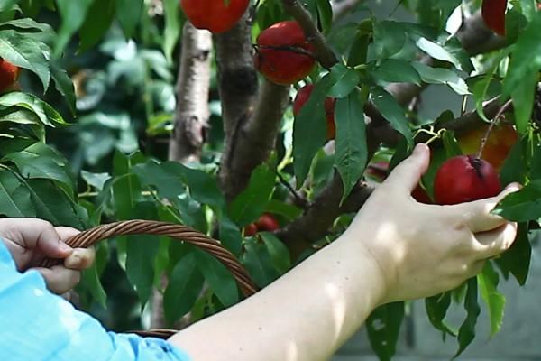 nectarine din productia proprie 2016