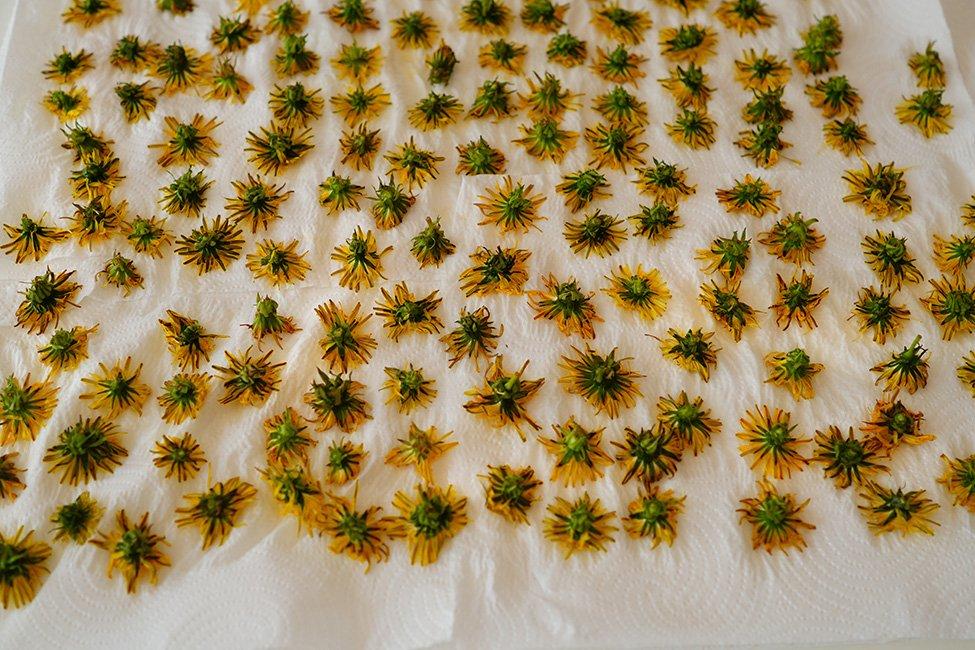 flori de papadie spalate