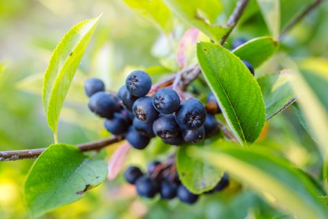 Fructele de aronia – un miracol pentru sănătate!