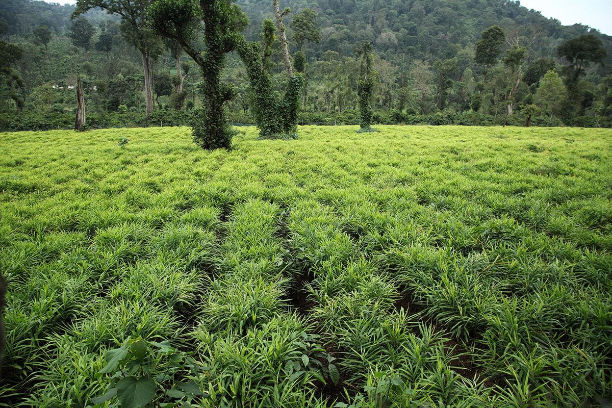 cultivarea ghimbirului in kerala, india